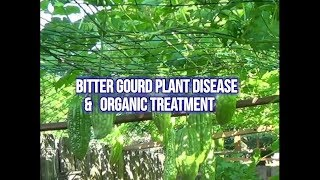 bitter gourd plant disease and care