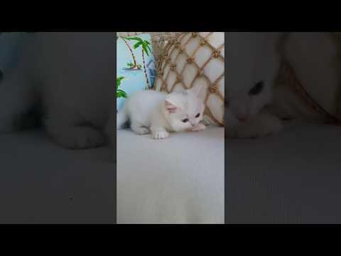 Adorable White Persian Kitten Playing Around - Doll Face Persian Kittens