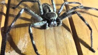 Massive huntsman spider