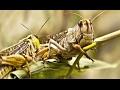 أغنية Un milliard de sauterelles dévaste Madagascar ZAPPING SAUVAGE mp3
