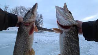 ЖОР икряных МАМОК Вот это я понимаю КЛЕВ на ЖЕРЛИЦЫ Зимняя рыбалка на жерлицы на щуку