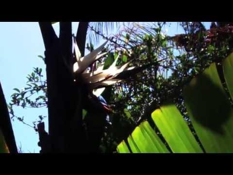 giant-white-bird-of-paradise