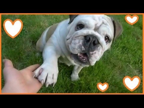Emily the Bulldog does Tricks - Clever English Bulldog does Dog Tricks