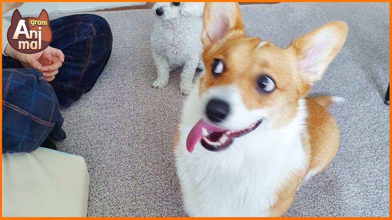 비글 아닌 코기글 못말리는 장난꾸러기 강아지가 나타났다! | A naughty puppy who can't stop a coggle, not a beagle, is here!