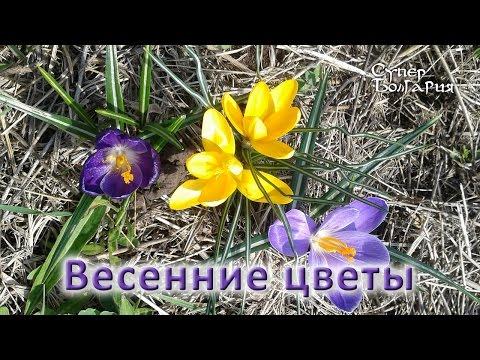 Клубневые и клубнелуковичные садовые цветы и растения
