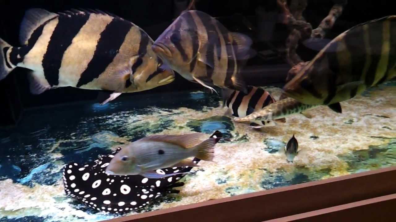 Siamese tiger fish black diamond stingray 450 gallon for Stingray fish tank