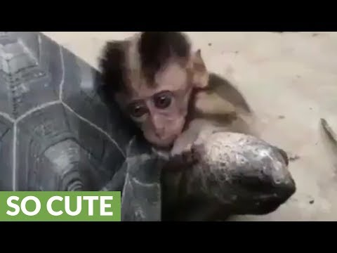 Baby monkey bonds with tortoise after mom dies
