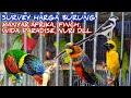 Survey Harga Burung Finch Manyar Afrika Wida Paradise Nuri Dll Pb Pramuka  Mp3 - Mp4 Download