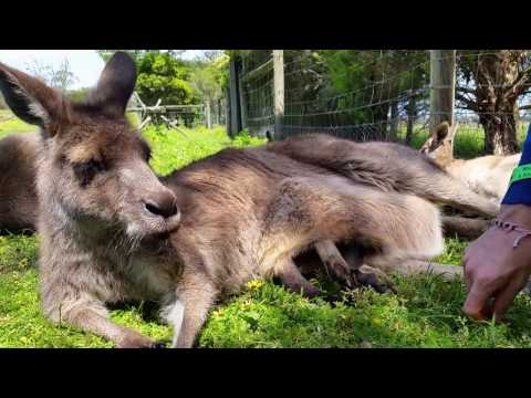 Il marsupio del canguro