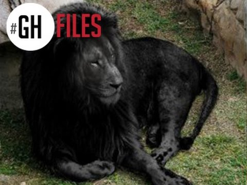 LAST BLACK LION IN THE WORLD #GHFILES