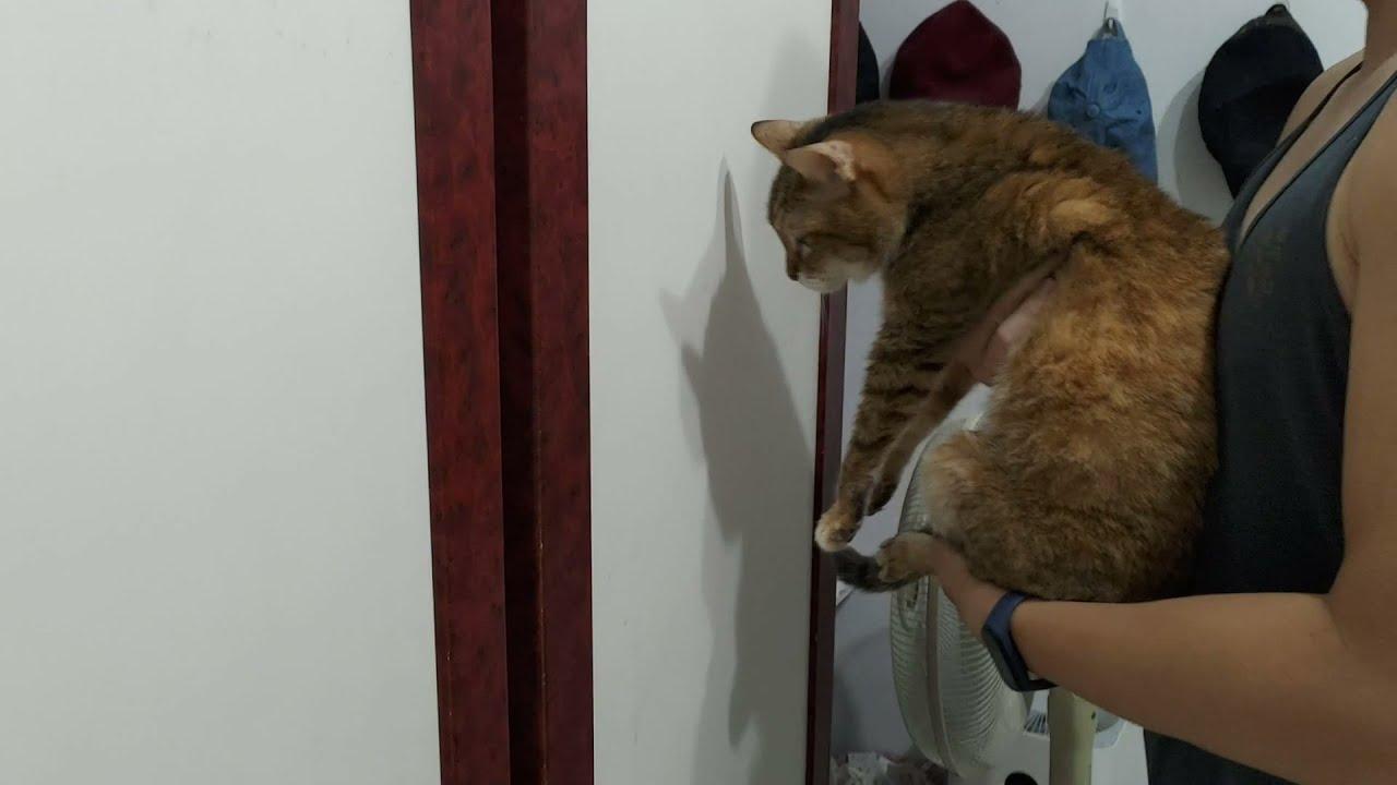 便便到底會不會「臉貼牆」測試?(臉貼牆的是笨貓??!)貓咪智力測試