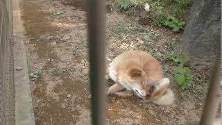 川上犬のさくらちゃん Japanese Kawakami Inu. 長野県内最古の動物園小...