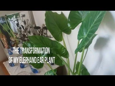 I Brought My Alocasia Calidora Elephant Ear Plant Indoors