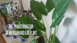 I brought my Alocasia calidora ( elephant ear plant ) indoors. Watch the difference.