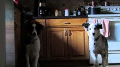 Australian Shepherds disciplined to wait for the command before eating.