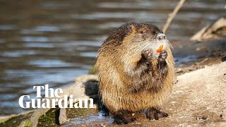 Nutria: the rodent wreaking havoc on California's landscape