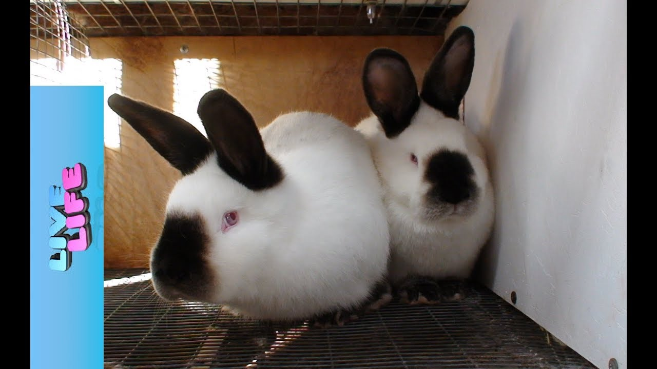 Короткий рассказ о кроликах длинною в жизнь. С чего всё началось.
