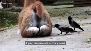 Из чего вороны строят гнёзда, и кто в них живёт - Птицы России