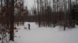 German Shorthaired Pointer Learns To Skijor