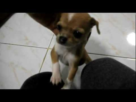 Mylee the Angry Chihuahua Puppy