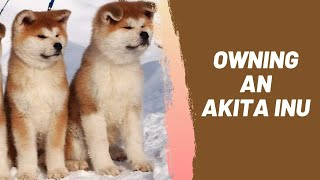 Owning an Akita Inu : Breeder Recommendations