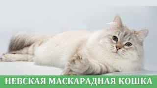 Невская маскарадная кошка: знакомство с породой