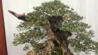 US National Bonsai Exhibition - 2014