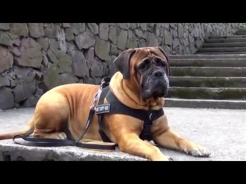 Practical Nylon Bullmastiff Harness with Patches