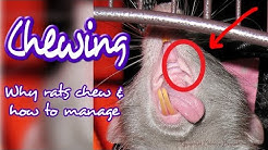 Can You Stop Rats From Chewing?