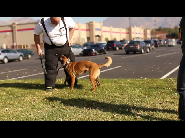 Real Dog Trainers of SLC- Belgian Malinois Bite Work