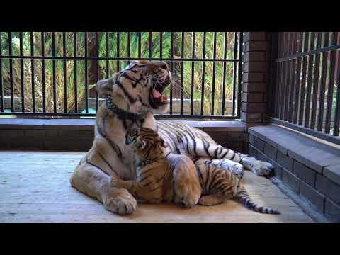 Воспитатель тигров Михаил Зарецкий (документальный фильм)