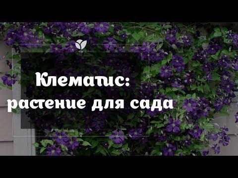 Клематис   Растение для сада    Agro-market.net