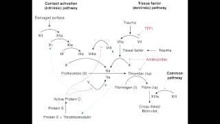 Hemostasis penting, karena merupakan sistem mekanisme pembekuan darah pada tubuh manusia. Faal hemos.