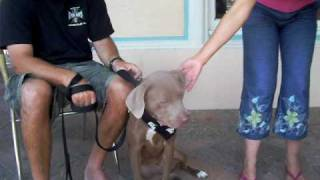 Chanel Female Weimaraner X At Adoptions In Malibu