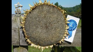 4 Time Blue Ribbon Winner Shared With Me Her Secret to Growing GIANT Sunflowers