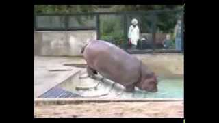 Nijlpaard / Hippo in bad, Artis