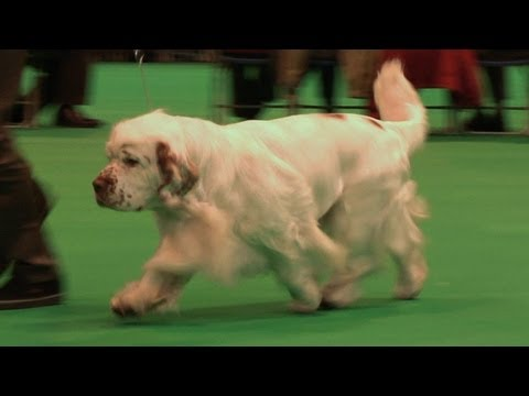 Crufts 2013 Clumber Spaniels Best of Breed - Passed Vetinary Check