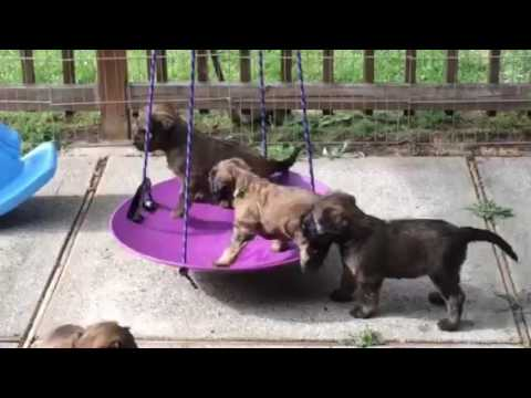 Swinging Briard puppies