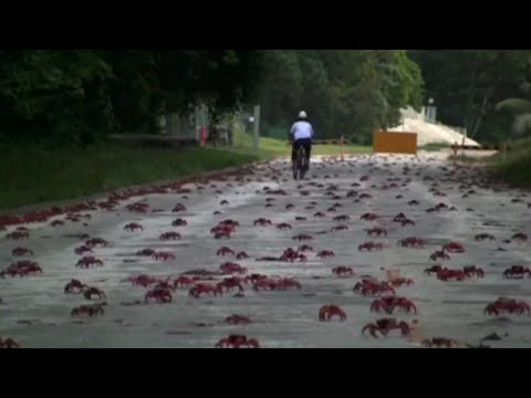 50 million crabs take over an entire island every year.