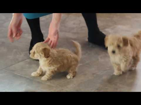 Havapoo Puppies For Sale