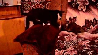 Морская свинка и кошка :)