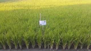 Rice Paddy Farm in Urban Japan