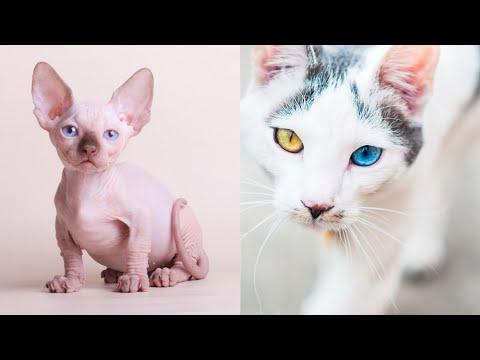 THE RAREST CAT BREEDS