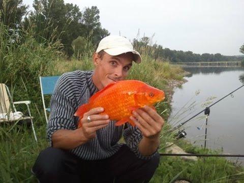 Gros poisson rouge pris a la peche a la carpe dans le gard for Le prix des carpes koi