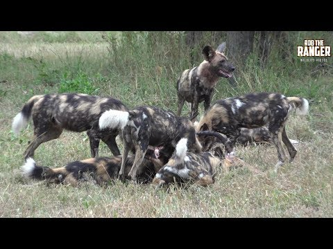 The Beautiful And Rare Painted Wolf Of Africa (Presented By Liaan Lategan)