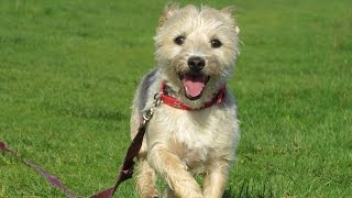Tilly - Yorkshire Terrier - 3 Week Residential Dog Training At Adolescent Dogs