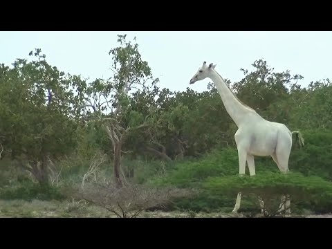 Rare white giraffes caught on camera in Kenya