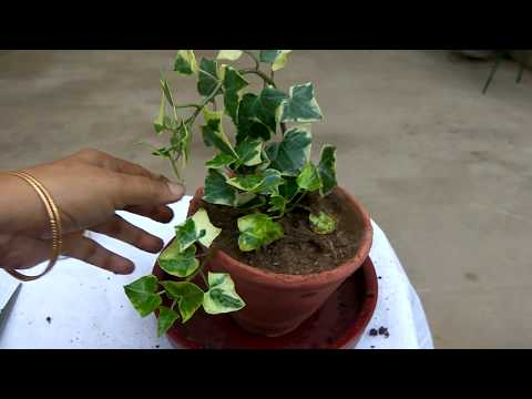 Propagation of English Ivy- indoor plant