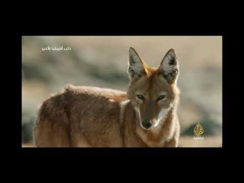 Ethiopian Wolf Story Part 2