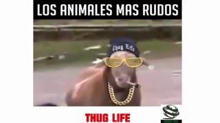 Los animales mas rudos THUG LIFE